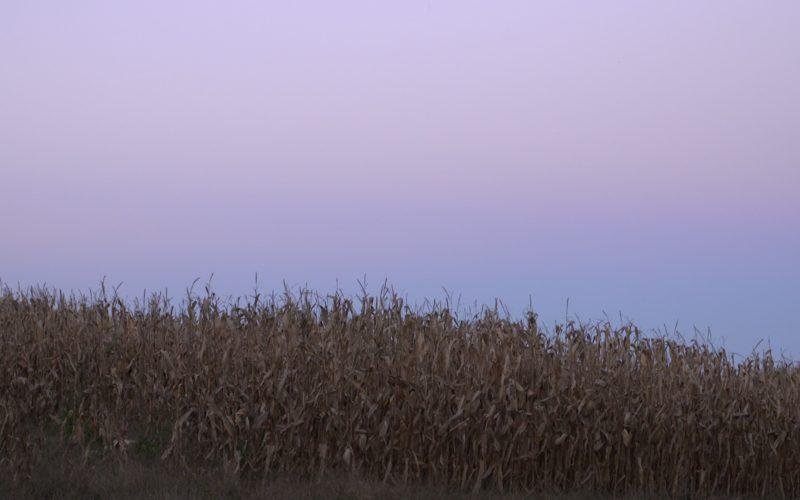 corn at dusk